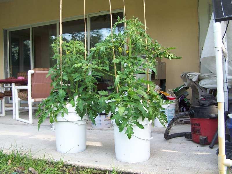 Sub-IrrigatedTomatoes